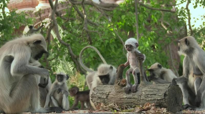 감동 영상: 아기 원숭이 로봇을 애도하는 랑구르 원숭이들